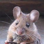 كيفية التخلص من الفئران فى المنزل