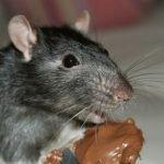 أضرار الفئران والقوارض
