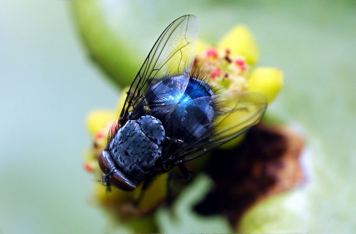 الذباب الازرق