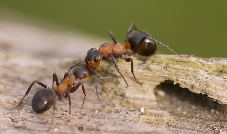 النمل الحفار