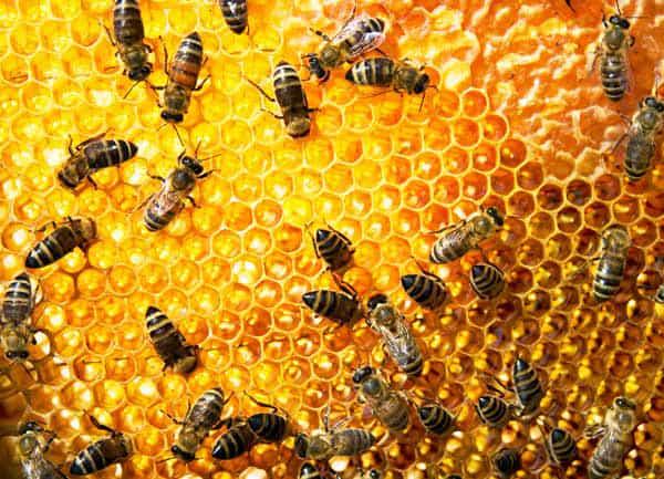 ماذا تعرف عن نحل العسل ؟