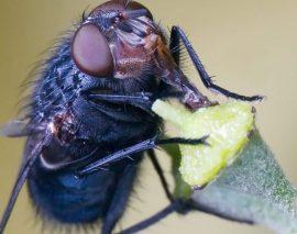 الذباب الازرق ذباب