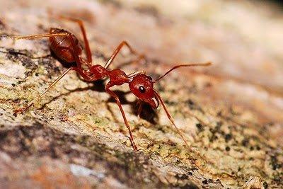 النمل الاحمر - النمل النارى