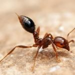 النمل النارى - النمل الناري