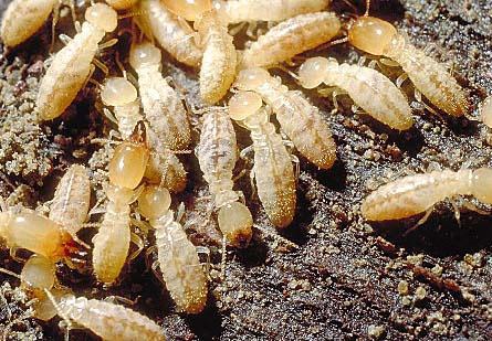مكافحة النمل الأبيض - مكافحة الأرضة