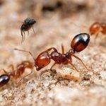 النمل النارى - النمل الاحمر